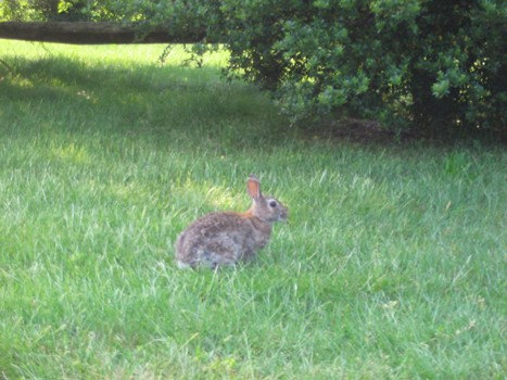Rabbit at Belle Terre Park